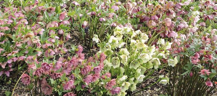 Open Garden Cropton Spring Hellebores