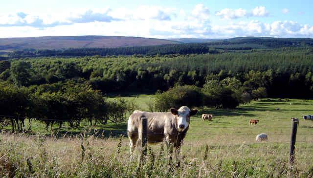 bullock at cropton view of north yorkshire moors