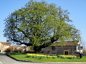 Photo of Chestnut Tree in Cropton village