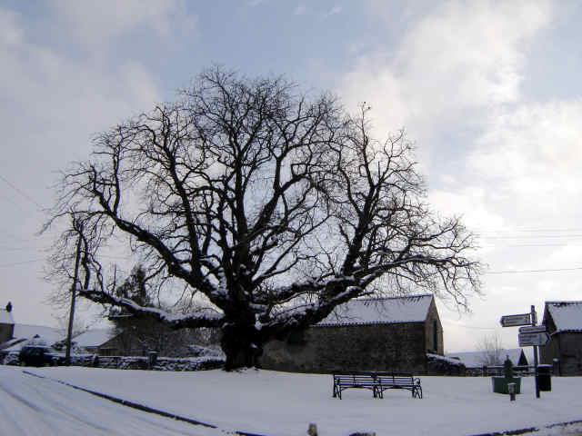 cropton chestnut tree in snow