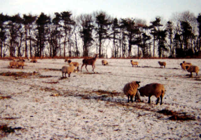 Deer and sheep photo at cropton north yorkshire